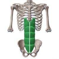 Mavetræning af Musculus Rectus Abdominis